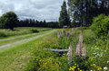 Summer roadside contryside with flowers picture from north of sweden Royalty Free Stock Photos