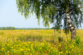 Summer rural landscape with birch on the meadow Stock Images