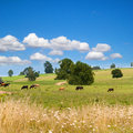 Summer rural landscape with the herd of cows grazing Stock Photography