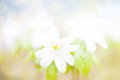 Summer Snowflake flowers Royalty Free Stock Photo