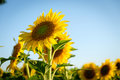 Summer sun over the sunflower field with blue sky Royalty Free Stock Photo