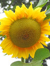 Summer sunflower head Royalty Free Stock Photo