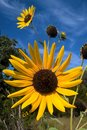 Summer Sunflower Royalty Free Stock Photo