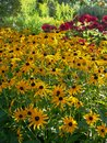 Summer: sunlit yellow flowers garden border Royalty Free Stock Photo