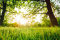 Summer Sunny Forest Trees And Green Grass Royalty Free Stock Photo