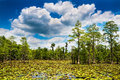 Summer swamp scene Royalty Free Stock Photo