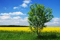 Summer tree field Royalty Free Stock Photography