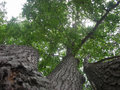 Upshot Triple Oak Tree in Summer Royalty Free Stock Photo
