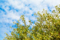 Summer vacation background with olive leaves, blue cloudy sky Royalty Free Stock Photo