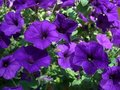 Summer Violets Stock Photo