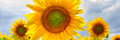 Summer web banner or backgrounds with flowers of sunflower Royalty Free Stock Photo