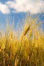 Summer wheat field detail of ripening in the basking in the early sunset Royalty Free Stock Images