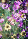 Summer wild flowers immortelle flower with small dof Royalty Free Stock Photos
