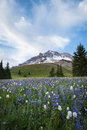 Summer wildflowers on mt hood oregon in the cascade range of Royalty Free Stock Photos