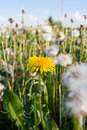 Summer wildflowers. One yellow dandelion among many white dandelions. Royalty Free Stock Photo