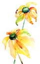 Summer yellow flowers watercolor illustration Stock Photos