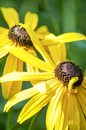Summer yellow sunflowers in a close up image Royalty Free Stock Photo