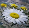 Summernight, daisy and buttercop floating in the water Royalty Free Stock Photo
