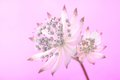 Summertime beautiful astrantia on a gradient background of coloured gels Stock Photography