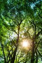 Sun ays shining through trees ,nature background / vertical photo
