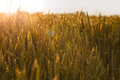 Sun beams over cereal field sunset ripe wheat flare lighting effect Stock Photography