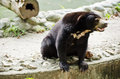 Sun Bear Stock Image