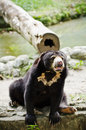 Sun Bear Stock Images
