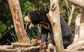 Sun bear having a yawn in the warm Stock Photo