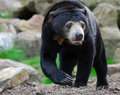 Sun Bear (Helarctos malayanus) Royalty Free Stock Photo