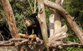 Sun bear lookout giving mean look form his seat Stock Image