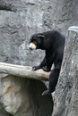 Sun bear a sitting on a log looking forward Royalty Free Stock Images