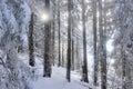 Sun blink across snowed forest Royalty Free Stock Photo