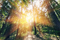 Sun breaking through pine trees. elective focus on the foreground Royalty Free Stock Photo