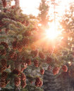 Sun burst through spruce Royalty Free Stock Photo