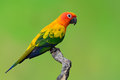 Sun Conure bird Royalty Free Stock Photo