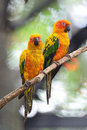 Sun conure colorful of two yellow parrots aratinga solstitialis standing on the branch breast profile Royalty Free Stock Photo