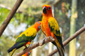 Sun conure has a rich yellow crown nape mantle lesser wing coverts tips of the greater wing coverts chest and underwing coverts Stock Photography