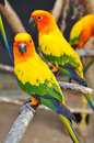 Sun conure has a rich yellow crown nape mantle lesser wing coverts tips of the greater wing coverts chest and underwing coverts Stock Photo