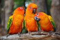 Sun Conure parrot bird Royalty Free Stock Photo