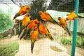 Sun conure parrots in aviary Royalty Free Stock Photo