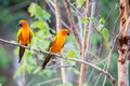 Sun conure parrots with nature background Stock Images