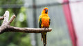sun Conure or yellow parrot Royalty Free Stock Photo
