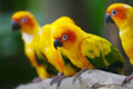 Sun Conures Stock Photos