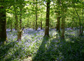 Sun Dappled Bluebells