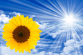 Sun energy sunflower on blue sky with clouds and rays symbolizing green Stock Photos