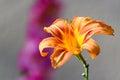 Sun faded orange daylily Royalty Free Stock Photo