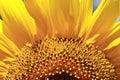Sun flower Royalty Free Stock Photo