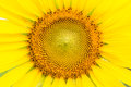 Sun flower close up of Royalty Free Stock Photography