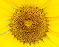 Sun flower close up of Royalty Free Stock Images