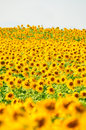 Sun Flower Field Stock Photo